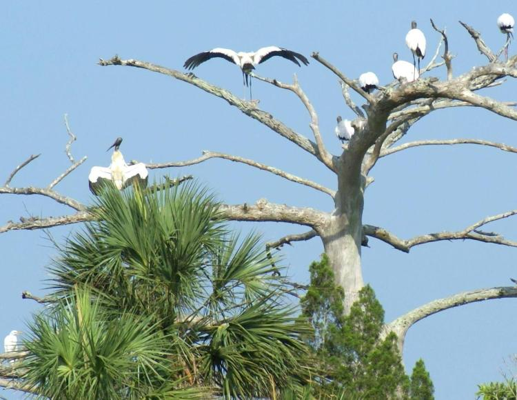 Wood Storks on the Aucilla River